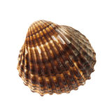 Brown cockle shell Royalty Free Stock Image