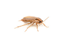 Brown cockroach Stock Photo