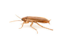 Brown cockroach Royalty Free Stock Photos