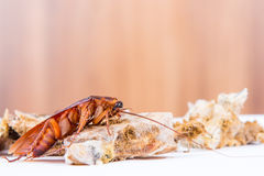 Brown Cockroach Stock Photos