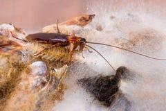 Brown Cockroach Stock Photos