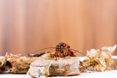 Brown Cockroach Stock Images