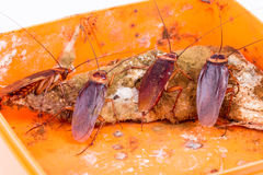 Brown Cockroach Stock Image