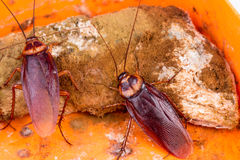 Brown Cockroach Stock Photography