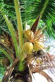 Brown coconut tree Royalty Free Stock Photos