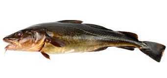 The brown cod Stock Photography