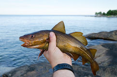 Brown cod in anglers hand Stock Photo