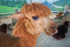 Brown color alpaca face. Close up brown color alpaca face Stock Photo