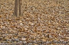 Brown color autumn fallen leaves on forest soil background royalty free stock photo