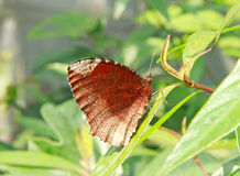 Brown color butterfly Royalty Free Stock Photo