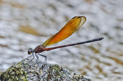 Brown color damselfly. In the parks Stock Photography
