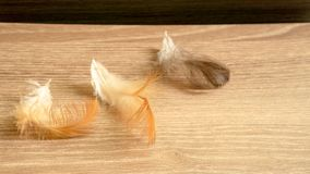 Brown color fluffy and fragile of chicken feather fall on wooden table royalty free stock photo