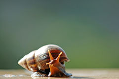 A brown color snail Royalty Free Stock Images