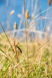 Brown colored adult male European mantis camouflaged in grass on the Bulgarian sea-shore Stock Photos