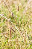 Brown colored adult male European mantis looking at the camera camouflaged in grass on the Bulgarian sea-shore Stock Photography