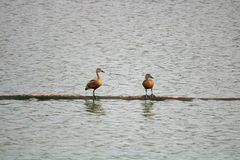Brown colored birds sitting over water stock photo
