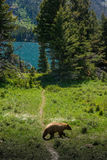 Brown colored black bear at Glacier National Park. Brown colored black bear crossing the trail at McDonald lake area, at Glacier National Park Royalty Free Stock Photos