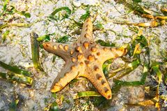 Brown colored Protereaster nodosus star fish at Boracay stock images