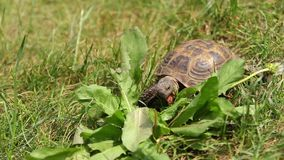 Brown colored turtle crawling and feeding on green grass stock video