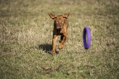 A brown colored vizsla running in a park after dogtoy royalty free stock photos