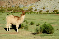 Brown colour llama on green meadow Stock Photography