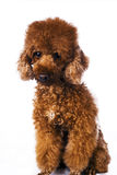 Brown colour mini poodle Royalty Free Stock Photography
