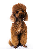 Brown colour mini poodle Stock Photos