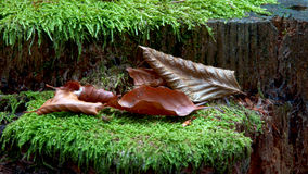 Brown coloured leaves and green moss Royalty Free Stock Image