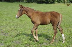 Brown colt. Bimonthly colt is walking in the grass royalty free stock images