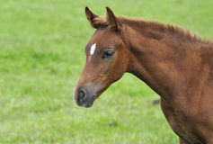 Brown colt. Detail of the head bimonthly colt royalty free stock photography