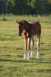 Brown colt or foal Royalty Free Stock Photos