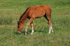 Brown colt in the meadow Royalty Free Stock Photos