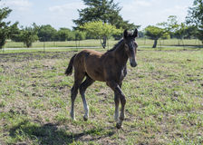 Brown colt running Stock Photo