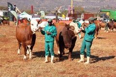 Brown com branco em vacas de Simmentaler da cabeça com foto do handlesr Fotografia de Stock