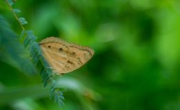A brown common buckeye on whiteleadtree royalty free stock photography
