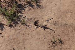 Brown common fence lizard, Sceloporus occidentalis Stock Photos