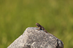 Brown common fence lizard, Sceloporus occidentalis Stock Image
