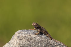 Brown common fence lizard, Sceloporus occidentalis Royalty Free Stock Photos