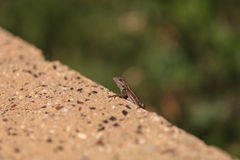 Brown common fence lizard Stock Photo