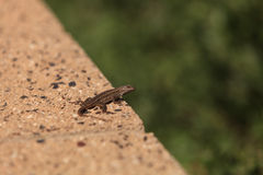 Brown common fence lizard Royalty Free Stock Image