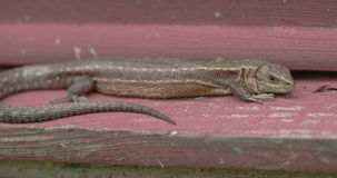 A brown common lizard on the wood stock footage