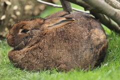 Brown common rabbit Royalty Free Stock Image