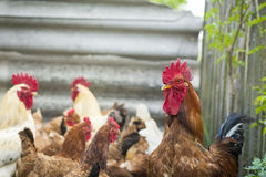 Brown common rooster Stock Photography