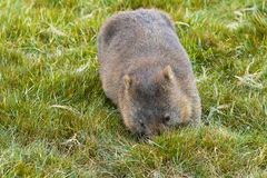 Brown Common Wombat grazing grass for dinner at Cradle mountain, Stock Photos