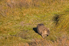 Brown Common Wombat grazing grass after leaving poo, feces behin Royalty Free Stock Photo