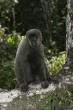 Brown or Common woolly monkey, Lagothrix lagotricha Stock Photos