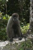 Brown or Common woolly monkey, Lagothrix lagotricha. Single mammal on branch, Brazil Stock Photos