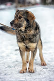 Brown con el perro mestizo gris Imágenes de archivo libres de regalías