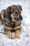 Brown con el perro mestizo gris Imagen de archivo
