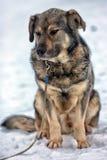 Brown con el perro mestizo gris Fotos de archivo libres de regalías